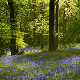 Back lit trees and Bluebells. A woodland path leads through a carpet of bluebells. Space is available for copy text to be added. The composition is in portrait stock photo