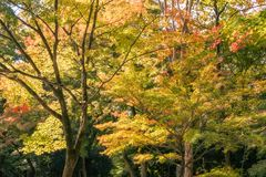 Back lit trees at Kiyomizu Garden in autumn. On the grounds of Kiyomizu-dera buddhist temple in Gion District, Kyoto, Japan royalty free stock images