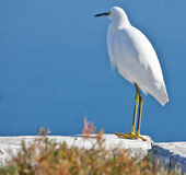 Back Lit White Egret Royalty Free Stock Images