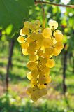 Back lit white grapes Royalty Free Stock Photos