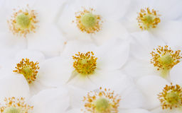 Back lit white windflower Royalty Free Stock Image