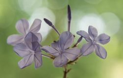 Close up of lilac dainty wild flowers with blurred green background Royalty Free Stock Photos