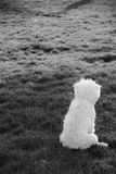 Back of Little White Dog on Field Royalty Free Stock Photo