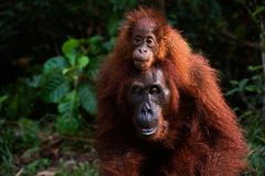 On a back at mum. A small cub, strong having seized, the orangutan goes Stock Image
