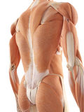 The back muscles. Medical accurate illustration of the back muscles Royalty Free Stock Photography
