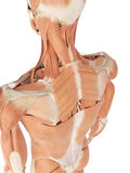 The back muscles. Medical accurate illustration of the back muscles Royalty Free Stock Images