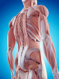 The back muscles. Medically accurate illustration of the back muscles Stock Photos