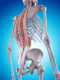 The back muscles. Medically accurate illustration of the back muscles Stock Image