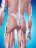 The back muscles. Medically accurate illustration of the back muscles Royalty Free Stock Images