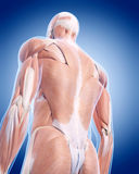 The back muscles. Medically accurate illustration of the back muscles Stock Images