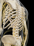 The back nerves vector illustration