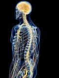 The back nerves royalty free illustration