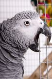 Back off!. Afraican Grey sqawking as he looks out the door of his cage stock image
