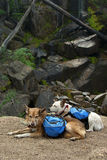 Back Packing Dogs Stock Photo