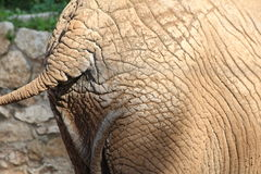 Back part of African elephant Royalty Free Stock Photos
