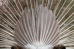 Back of peacock feathers spread out royalty free stock images