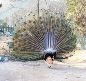 Back of a peacock flaunting its tail Royalty Free Stock Photos