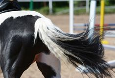 Back of the Piebald sports horse. Pinto horse stock images