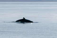 Back of a pilot whale Royalty Free Stock Images