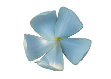 The back of the plumeria flower Stock Image