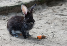 Back rabbit Royalty Free Stock Photo