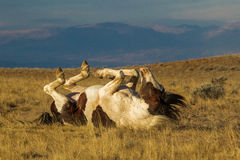Back Rub. Wild Mustang Rolling On Its Back, McCullough Peaks Wild Horse Herd Management Area, Wyoming Stock Images