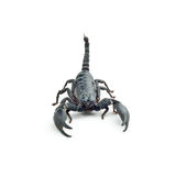 Back scorpion Royalty Free Stock Images