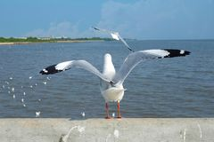 The back of the seagull stock photography