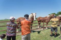 Back of senior Asian people feeding Belgian Heavy Horse at farm in North Texas, America stock image