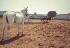 Back shot of white horse with few horses Stock Photos