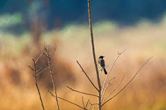 Back of Siberian Stonechat, Asian stonechat, Old World flycatche. R bird sitting on branch all alone with blurred background in Thailand, Asia Saxicola maurus Stock Photos