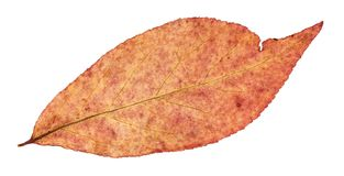Back side of autumn red leaf of willow tree. Isolated on white background Stock Photos