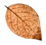 Back side of autumn rotten leaf of poplar tree. Isolated on white background Royalty Free Stock Images