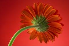 Back side of a gerbera flower macro Stock Photography