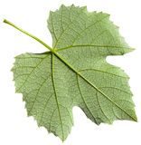 Back side of green leaf of grape vine plant Royalty Free Stock Image