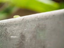 Back side of green slug parasa lepida slow walking on the wall. With soft focus background Stock Images