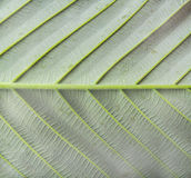 Back Side Hairy Leaf Stock Photo