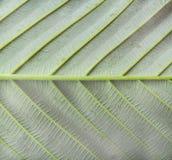 Back Side Hairy Leaf Stock Photo