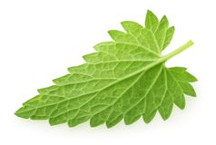 Back side of lemon balm melissa leaf isolated on white.  stock photos