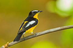 Back side Male Yellow-rumped flycatcher. (Ficedula zanthopygia) catch on the wood in nature of Thailand Royalty Free Stock Photo