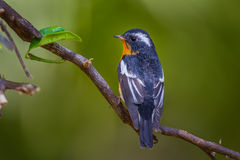 Back side of Mugimaki flycatcher Stock Photography