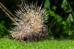 Back side of nocturnal animals Malayan porcupinea. Back side of nocturnal animals Malayan porcupine(Hystrix brachyura) show the sharp feather in nature at Stock Photos