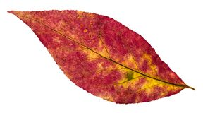 Free Back Side Of Autumn Pied Leaf Of Willow Tree Royalty Free Stock Images - 114390399