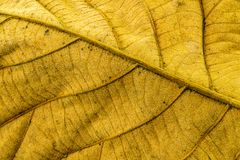 Free Back Side Of Dry Teak Leaf Texture Royalty Free Stock Photography - 160419707