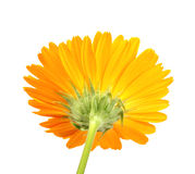 Back-side of orange flower isolated Royalty Free Stock Photos