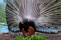 Back side of peacock in full plumage Stock Photo
