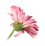 Back-side of pink flower Stock Images