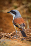 Back side portrait close up of Burmese Shrike Royalty Free Stock Image