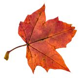 Back side of red autumn leaf of maple tree. Isolated on white background royalty free stock images