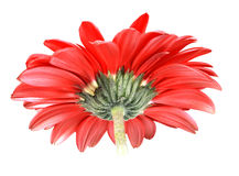 Back-side of red flower Royalty Free Stock Photography